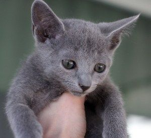 Russian Blue Cats For Sale New York
