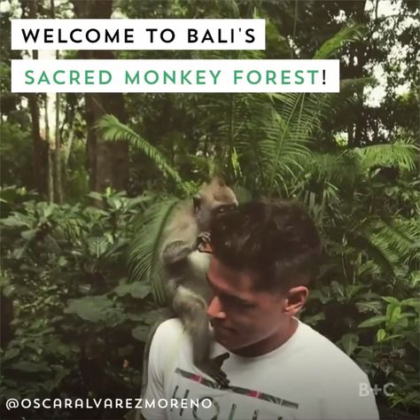 Bali has a sacred monkey forest, home to more than 700 free-roaming monkeys that you can feed and hangout with! #baliholiday