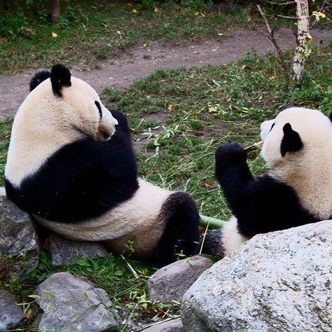 The giant pandas from the Schönbrunn Zoo. #pandas #chilling #vienna #austria…