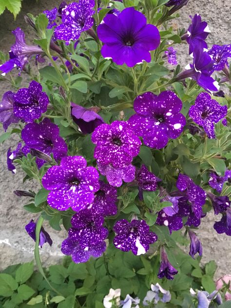 My Night Sky Petunias Have Been So Good This Year Gardening