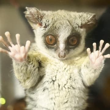 Meet Pizzatoru The Bush Baby That Has Stolen Our Hearts With