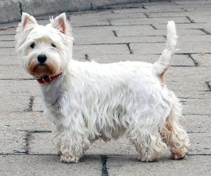 Dogs 101 West Highland White Terrier Westie Friendly Dog Breeds