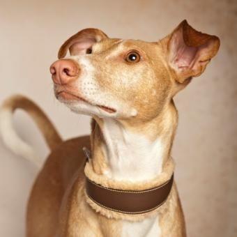 Dieser Blick Diese Ohren Dieses Halsband Whippet Windhunde Hunde