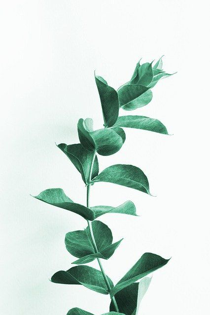 Eucalyptus Tree Leaves Benefits