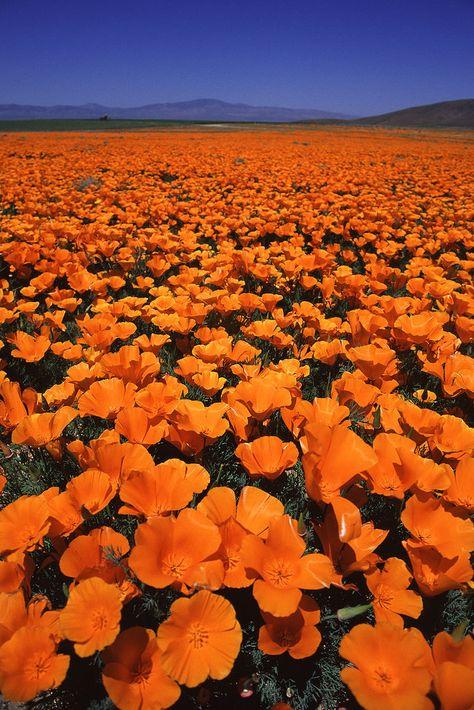 2000-008A | Californian Poppy field in Lancaster, CA. | Ken Kasuga | Flickr
