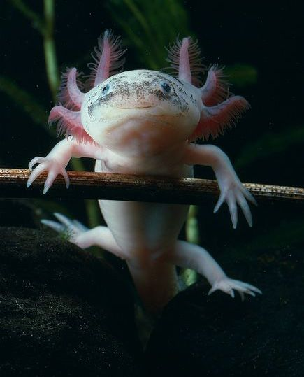 """And all this time I thought """"axolotl"""" was just a MAD Magazine word. It's a swimmy critter that apparently also does gymnastics. And it's cute. :)"""