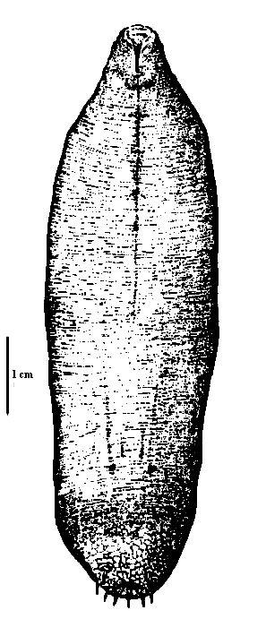 Image result for echiuridae   Echiuran worm   Ceiling lights