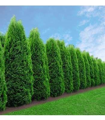 Emerald Green Arborvitae Trees Emerald Green Arborvitae Arborvitae Tree Arborvitae Landscaping