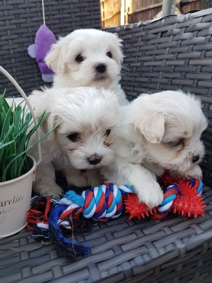 Maltese Puppies For Sale Philadelphia Pa Maltese Puppy