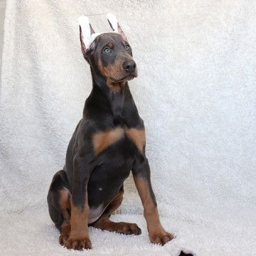 Doberman Pinscher Puppy For Sale In Gap Pa Adn 69240 On
