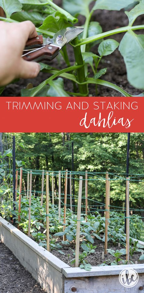 Growing Dahlias: Trimming and Staking #garden #flowergarden #dahlia #growingdahlias #plantingdahlias