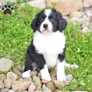 Macy Keeshond Mix Puppy For Sale In Pennsylvania Bernedoodle Puppy Puppies For Sale Mini Bernedoodle