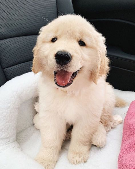 Retriever Puppy, Dogs Golden Retriever, Golden Retrievers, Boxer Puppies, Cute Dogs And Puppies, Cat Dog, Pet Puppy, Golden Puppy, Puppy Pictures