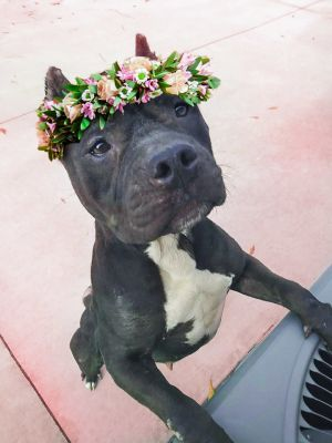 Adopt Holly On Pitbull Terrier Staffordshire Terrier Mix