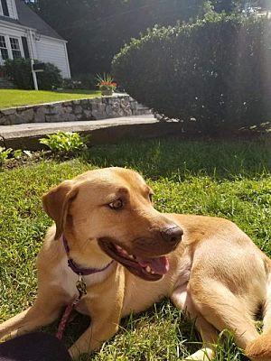 Pictures Of Lila A Labrador Retriever For Adoption In New York Ny Who Needs A Loving Home Labrador Retriever Beautiful Dog Breeds Most Beautiful Dog Breeds