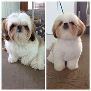 Shih Tzu Haircuts Before And After Goldenacresdogs Com Shih Tzu Haircuts Shih Tzu Grooming Shih Tzu