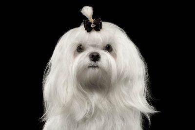 Coton De Tulear Dog Breed Information Coton De Tulear Maltese