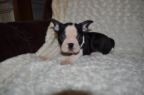 Faux Frenchbo Bulldog Puppy For Sale In Atwood Il Adn 66739 On