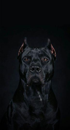Fantastico Natureza Linda Amigo Fiel In 2020 Pitbull Dog Cane Corso Dog Wallpaper Iphone