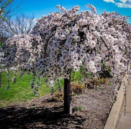 Super Weeping Cherry Tree Zone Ideas Weeping Cherry Tree Tree Japanese Maple Tree