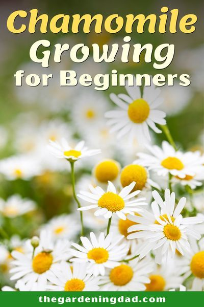 10 Easy Tips How To Grow Chamomile The Gardening Dad Chamomile Growing Chamomiles Chamomile Seeds