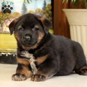 Cyclone Rottweiler Mix Puppy For Sale In Pennsylvania