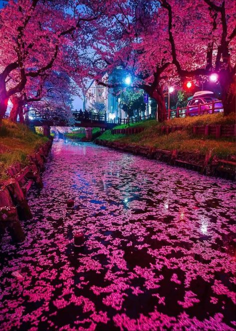 Cherry Blossom Japan, Japanese Cherry Blossoms, Cherry Blossom Pictures, Amazing Gifs, Amazing Nature, Amazing Art, Blossom Trees, Purple Aesthetic, Beautiful Landscapes