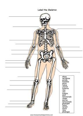 Skeleton Labeling Worksheet Skeletal System Unit Skeletal System Printable Skeletal System