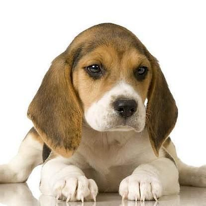 Names For Beagle Dogs Beagle Puppy Beagle Dog Beagle