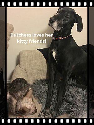 Great Dane Dog For Adoption In Troy Il Adn 558454 On Puppyfinder
