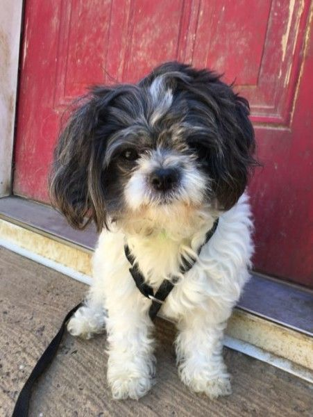 Bonnie Shih Tzu Dog For Adoption In Warren New Jersey Dog Adoption Shih Tzu Dog Dogs