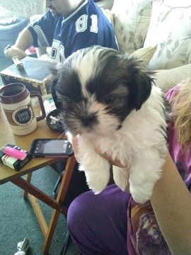 Litter Of 5 Shinese Puppies For Sale In Warwick Ri Adn 65702 On