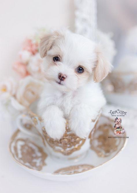 Teacup Puppies & Boutique