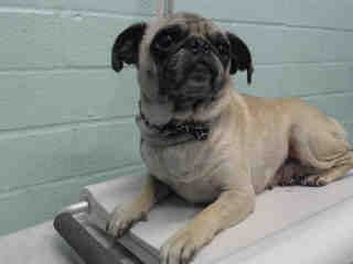Urgent Carson Ca A5264426 A 5 Years Old Female Pug At The