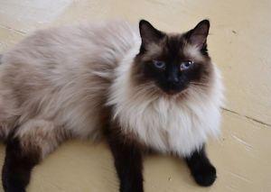 Balinese Cat Catssky In Memory Of Jojo Siamese Cats