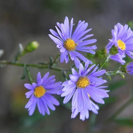 Smooth Blue American Aster Native Plants Plants Pollinator Plants