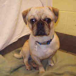 Upper Marlboro Maryland Pug Meet Nas A For Adoption Https