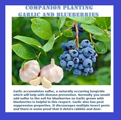 Garlic Inter Planted With Fruit Trees Luv2garden Com Blueberry Gardening Blueberry Companion Plants Growing Blueberries