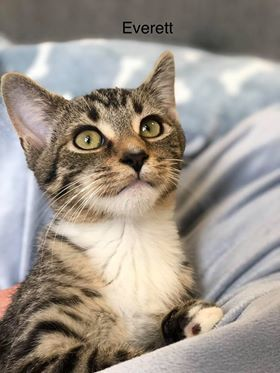 Everett Is An Adoptable Domestic Short Hair Searching For A