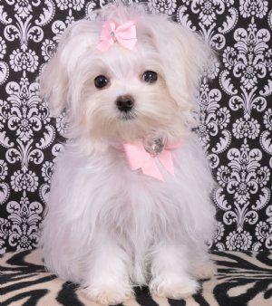Love This Little Face Maltese Maltese Dogs Maltese Puppy Maltese