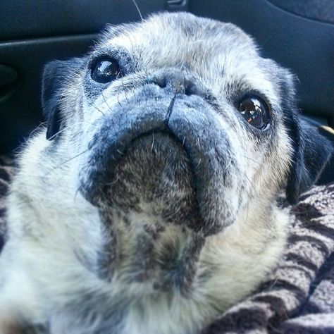 The Common Skin Problems In Pugs Pugs