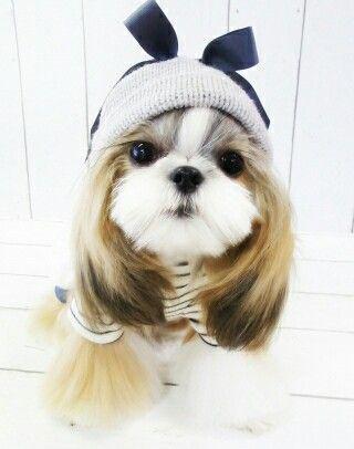 Cute Dog Shih Tzu Long Hair On Ears Gives Her An Adorable