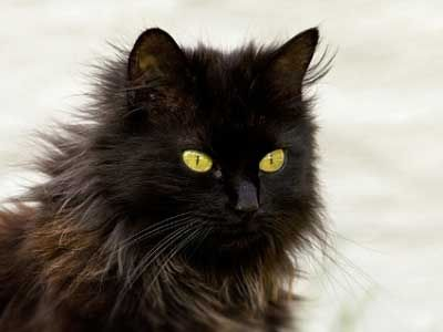 Chantilly Tiffany Price Personality Lifespan Black Cat Breeds Cat Breeds All Cat Breeds