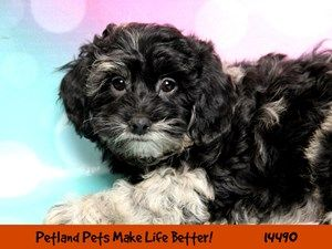 Dogs Puppies For Sale Petland Chicago Ridge Illinois Pet Store With Images Puppies For Sale Puppies Cute Dogs