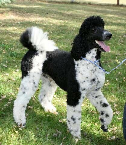 Exceptional Poodles Info Is Offered