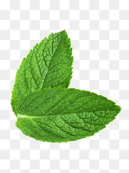 Mint Leaf Green Leaf Fresh Mint Green Clipart Fresh Clipart Mint Clipart Leaves Clipart Leaf Illustration Leaf Clipart Mint Plants