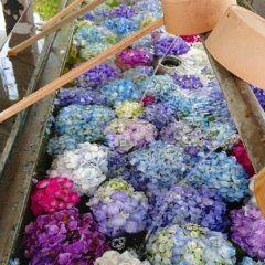 春日 神社 紫陽花