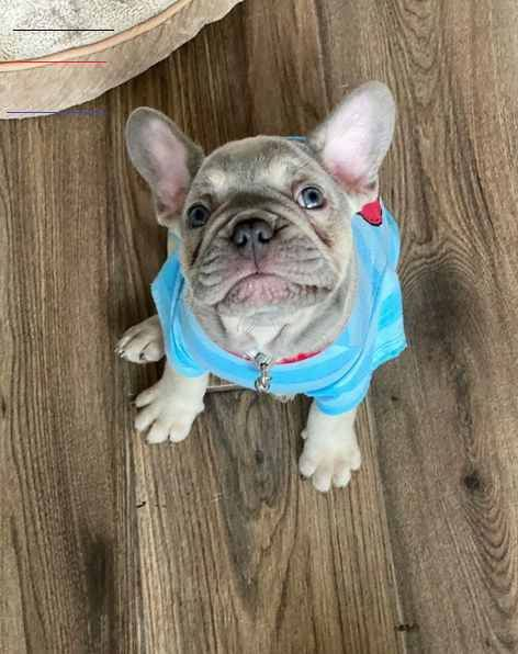 Rome Breed French Bulldog Gender Male Registry Akc Personality