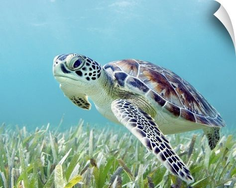 M Swiet Productions Solid-Faced Canvas Print Wall Art Print entitled Hawaii, Green Sea Turtle (Chelonia Mydas) An Endangered Species Baby Sea Turtles, Cute Turtles, Tortoise Turtle, Turtle Love, Green Turtle, Ocean Creatures, Tier Fotos, Endangered Species, Endangered Sea Animals