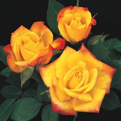 Spring Hill Nurseries Rainbow S End Miniature Rose Live Potted Plant With Yellow And Red Flowers 62028 The Home Depot Rose Flowers Beautiful Roses